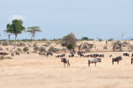 game reserve: herd of different animals in the savannah in tanzania - national park selous game reserve