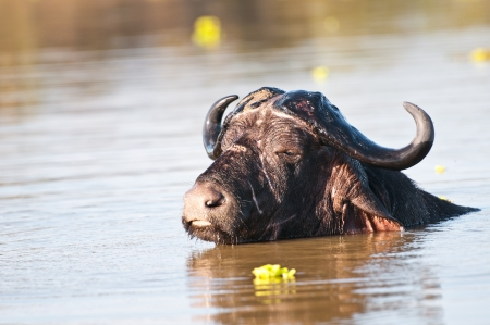 game reserve: buffalo taking a bath in the lake manze in tanzania - national park selous game reserve