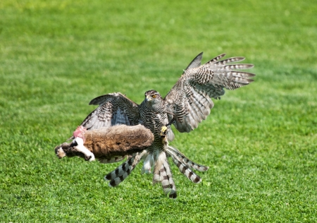 goshawk: goshawk killing its prey