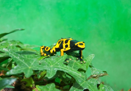 yellow and black poison dart frog: yellow and black patterned poison dart frog in a terrarium sitting on a leaf