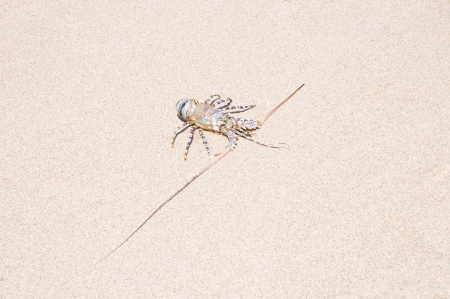 spiny lobster: spiny lobster in the sand - on the beach of the indian ocean in tanzania
