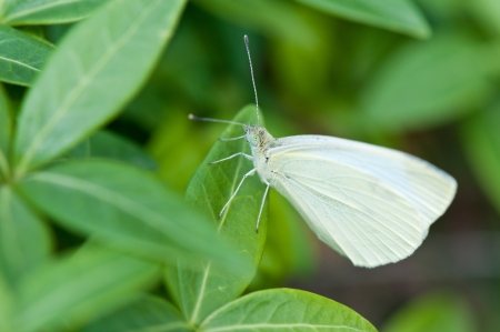white cabbage butterfly on a wintergreen plant