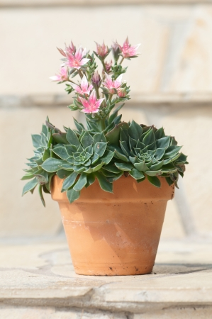 potted sedum in blow standing on a tiled step