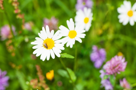 different wild flowers in the meadow photo
