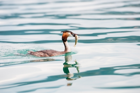 crested duck: great crested grebe duck with a fish in the bill Stock Photo