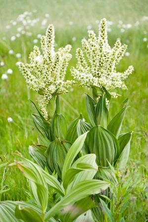 alpine flower  Veratrum album
