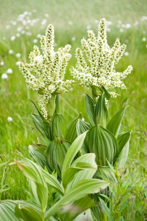 alpine flower  Veratrum album