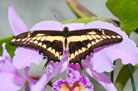swallowtail butterfly  Papilio machaon  resting on a orchid Stock Photo