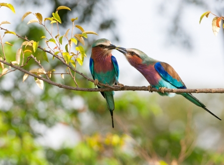 lilac breasted roller feeding a female with an insect - national park masai mara in kenya
