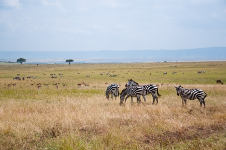 savannah life with zebras, topis, impalas - national park masai mara in kenya photo