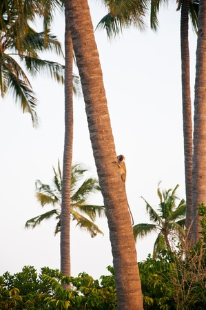 long faced: black-faced vervet monkey on a coconut palm tree - national park saadani in the indian ocean in tanzania Stock Photo