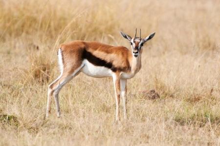 grants: thomson gazelle in the savannah - national park masai mara in kenia Stock Photo