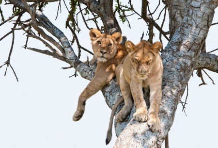 animal limb: two young lions resting on a tree - national park masai mara in kenya Stock Photo