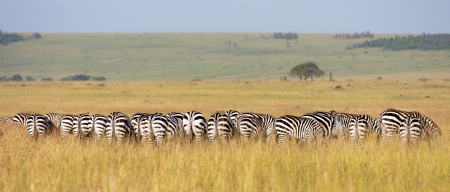 crowded herd of zebras grazing in the savannah - back view - national park masai mara in kenya
