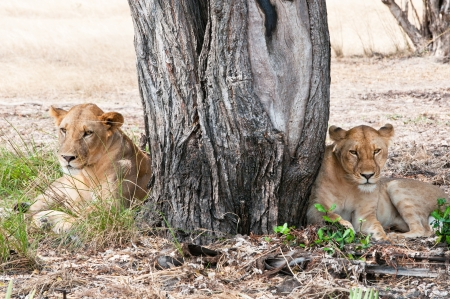 game reserve: two female lions lying under a tree in the savannah - national park selous game reserve in tanzania Stock Photo