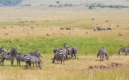 conservation grazing: herd of different animals in the savannah in east africa - national park masai mara in kenya