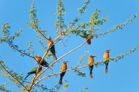 animal limb: white-fronted bee-eaters on a tree - national park selous game reserve in east africa Stock Photo