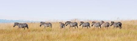 zebras in a row walking in the savannah in africa - national park masai mara in kenya