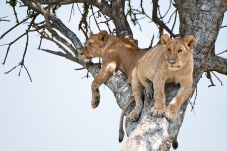 animal limb: two young lions on a tree - national park masai mara in kenya