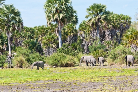 game reserve: elephant herd in the bushland of africa - national park selous game reserve in tanzania