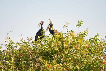pecker: two open billed storks sitting on a bush - national park selous game reserve in tanzania Stock Photo