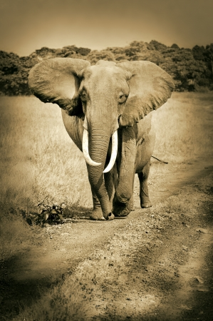 african elephant walking on the road in the national park masai mara in kenya east africa - sepia photo