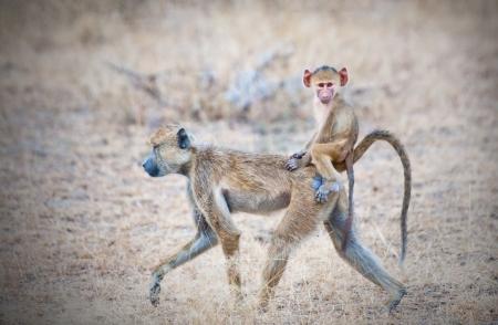 animal in the wild: babuino amarillo madre caminando por la sabana con su bebé en la espalda - reserva de caza Selous parque nacional en Tanzania