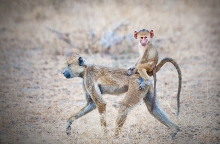 yellow baboon mother walking through the savannah with its baby on the back - national park selous game reserve in tanzania