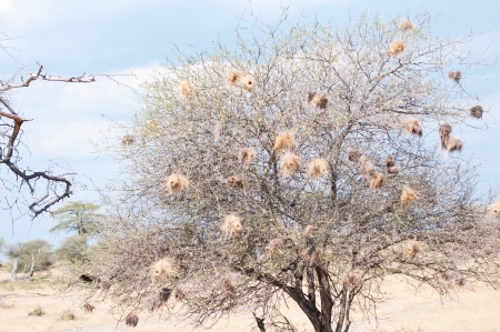 weaver bird nest: tree full of baya weaver nests in the savannah in africa - national park selous game reserve in tanzania Stock Photo