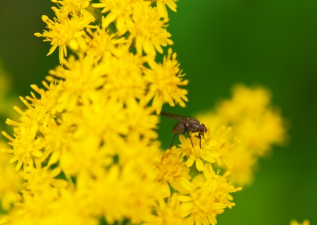 goldenrod: fly resting on a yellow flower