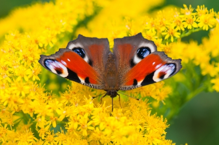 european peacock butterfly resting on a yellow flower photo