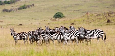 zebra herd in the savannah in africa - national park masai mara in kenya