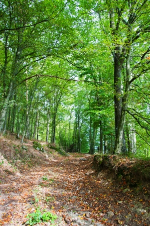 broad leaved tree: hiking trail in the forest Stock Photo