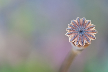 poppy capsule on a soft pastel background photo