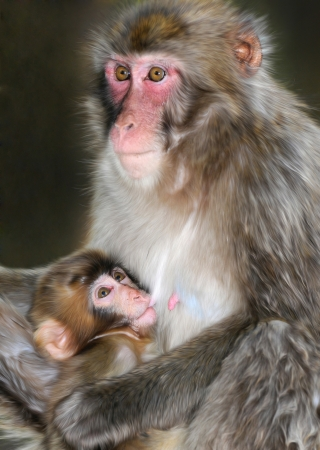 teats: macaque baby sucking on mothers teats Stock Photo