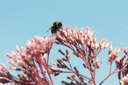 bumblebee collecting nectar on a red boneset photo