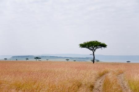 paisagem: Savannah - parque nacional de Masai Mara, no Qu