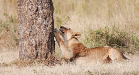 female lion sharpening its claws on a tree trunk - national park masai mara in kenya Stock Photo