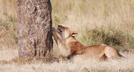 female lion sharpening its claws on a tree trunk - national park masai mara in kenya Archivio Fotografico
