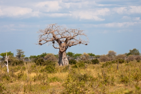 digitata: baobab tree in the national park selous game reserve in tanzania Stock Photo