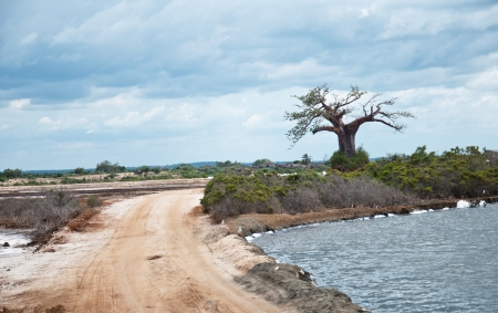 digitata: baobab tree on the shore of the salt lake in tanzania - national park saadani in the indian ocean Stock Photo