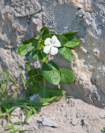 white periwinkle growing out of a stone wall Archivio Fotografico