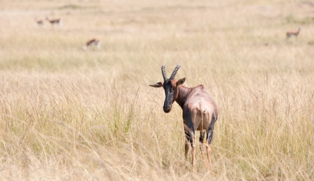 topi in the savannah, thomson gazelles in the background - national park masai mara in kenya photo