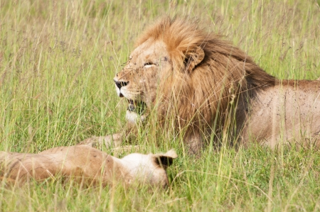 lion couple lying lazy in the high savannah grass - national park masai mara in kenya photo