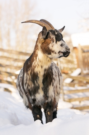 he goat: goat standing in the snow in a compound in winter