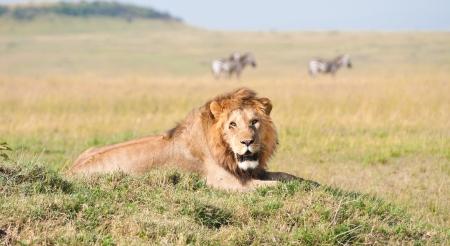 lion lying lazy in the savannah in africa - national park masai mara in kenya