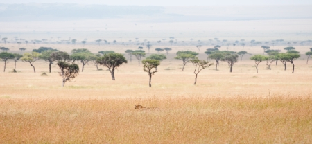 cheetah prowling around in the savannah in africa - national park masai mara in kenya Stock Photo