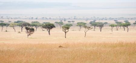 cheetah prowling around in the savannah in africa - national park masai mara in kenya Stock Photo
