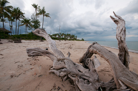 big root on the beach of the indian ocean in tanzania - national park saadani in east africa