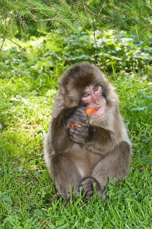 macaque monkey sitting in the grass eating a carrot